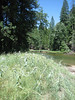 Habitat of Asclepias speciosa (Showy Milkweed,Yosemite N.P. Siera Nevada)