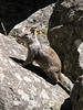 Sciurus griseus, Western Gray Squirrel, (Yosemite)