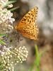 Speyeria cybele, Great Spangled Fritillary, (Siera Nevada California)