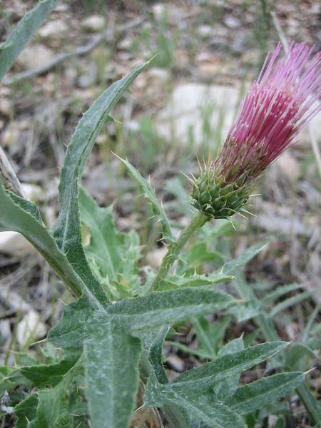 Cirsium calcareum (Limestone Thistle, Bryce, Utah)