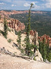 Picea engelmanii, Engelmann spruce, Nat. Park Bryce Canyon (Utah)