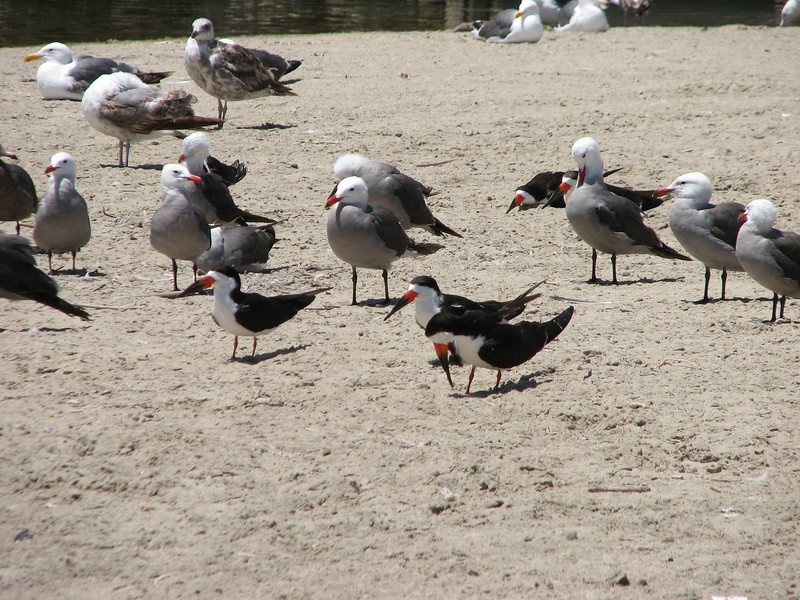 Heerman's Gull, Larus heemani abd Black Skimmer, Rynchops niger (Westcoast Pacific.)