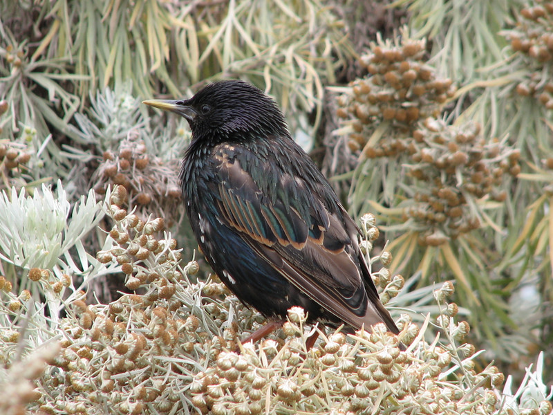 European Starling, Sturnus vulgaris (Joshua Tree National Parc)