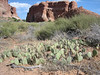 Prickly Pear Cactus, Opuntia spec.   Devils garden (Arches National Park, Utah)