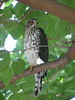 Accipiter cooperii, Coopers Hawk, (San Diego)