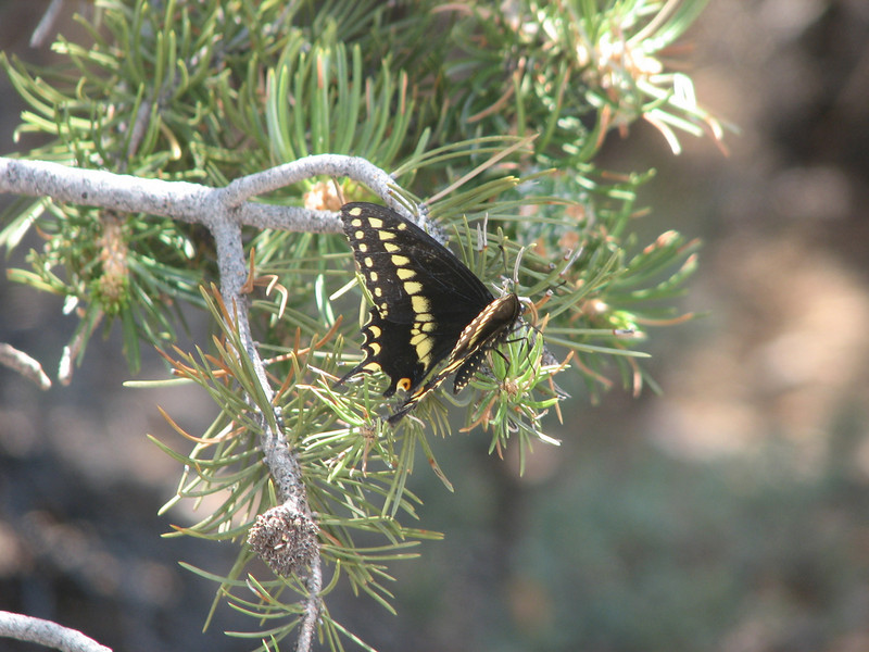 Short-tailed Swallowtail page, Papilio brevicauda (Grand Canyon National Park)