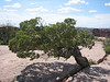 Utah juniper, Juniperus osteosperma (Arches N.P. Utah)