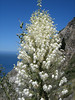 Our Lord's Candle, Yucca whipplei (Coast Pacific Ocean)