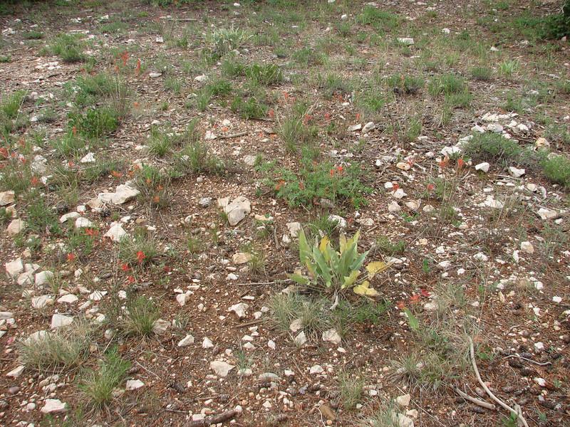 habitat of Castilleja spec. (Utah)