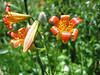Tiger lily, Lilium parvum (Yosemite N.P. Siera Nevada)