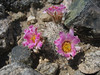 Fishhook cactus, Mammilaria grahamii (Joshua Tree National Park)