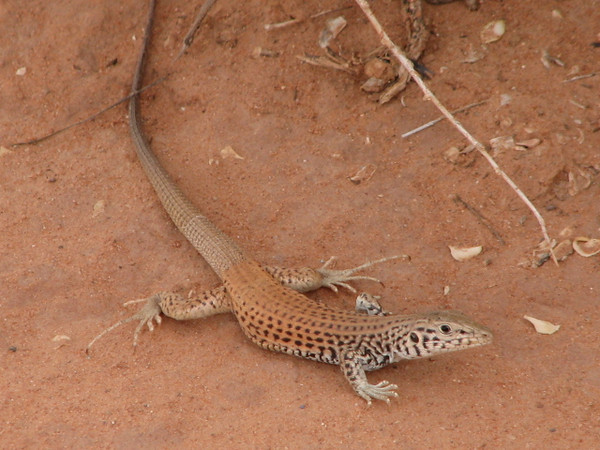 Lizard, ?,  Arches National Park (Utah)