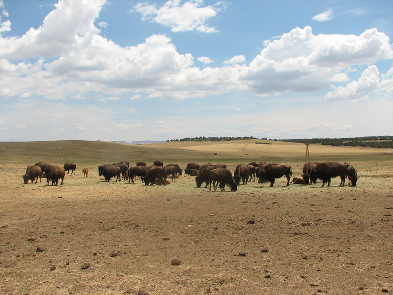 Buffalo, Bison bison (Dixie National Forest Utah)