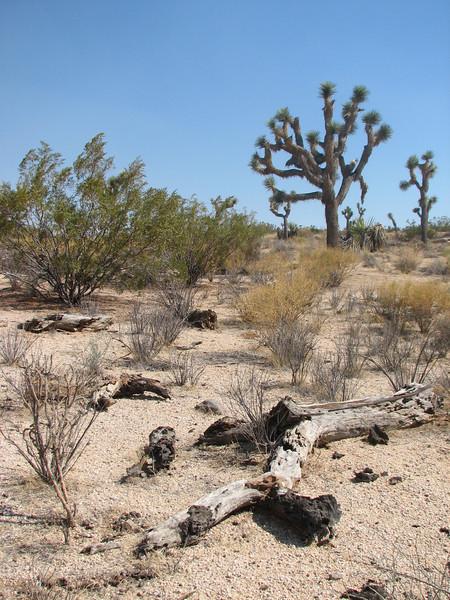 Yucca brevifolia (Joshua Tree National Park)