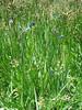 Camas Lily, Camassia leichtlinii ssp. suksdorfii (Yosemite N.P. Siera Nevada)