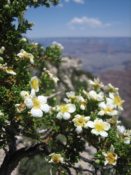Cliffrose, Purshia mexicana var. stansburiana (Grand Canyon National Park)