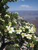 Cliffrose, Purshia mexicana var. stansburiana (Grand Canyon National Park)