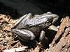 Rana spec. Frog, ?? (Yosemite N.P. Siera Nevada)