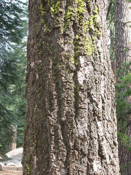 Pinus lambertiana, Sugar Pine,  (Sequoia National Park California)
