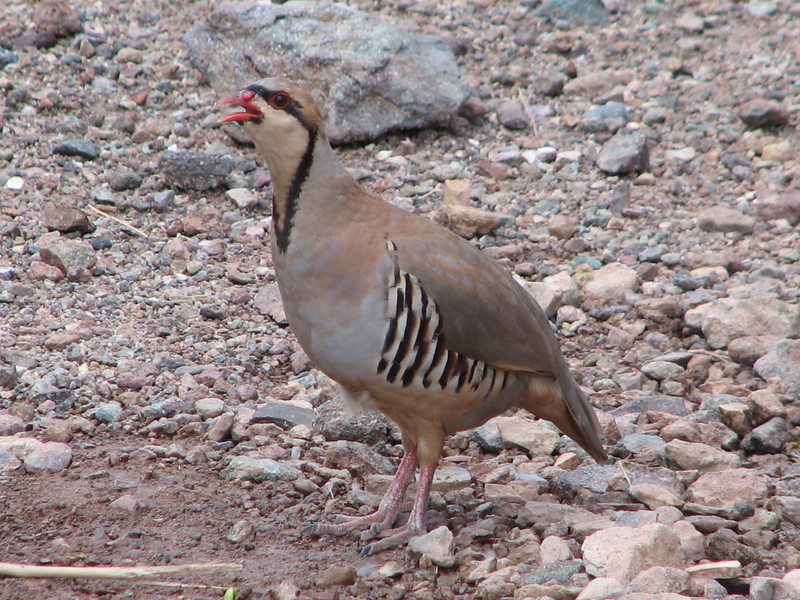 Rock Partridge, Alectoris graeca (Mojave desert California)