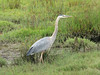 Great Blue Heron, Ardea horodias (San Francisco)