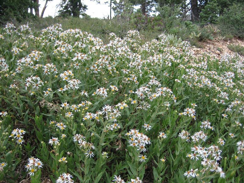Western Aster, Aster occidentalis (Bryce NP Utah)