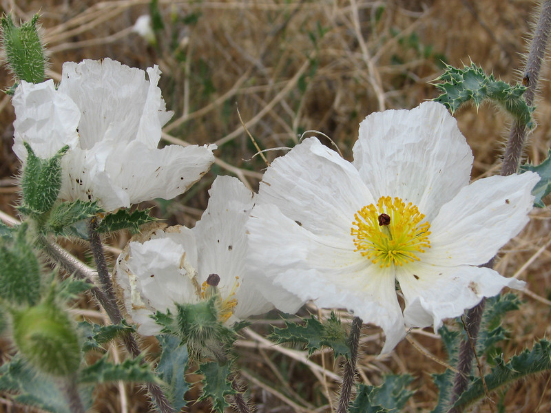 Prickly poppy, Argemone pleiacantha (Dixie National Forest Utah)
