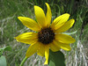 Common Sunflower, Helianthus annuus (Bryce NP Utah)