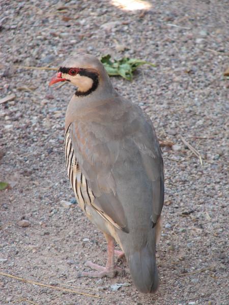 Rock Partridge, Alectoris graeca (Mojave desert California)