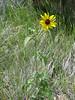 Common Sunflower, Helianthus annuus (Bryce NP Utah)