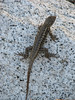 Sceloporus occidentalis, Western Fence Lizard,(Yosemite)