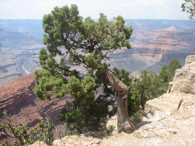 Utah Juniper, Juniperus osteosperma (Grand Canyon National Park)