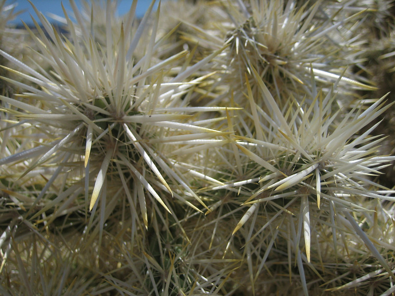 Buckhorn Cholla, Opuntia acanthocarpa (Joshua Tree National Park)