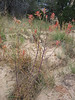 Indian Paintbrush, Ipomopsis aggregata (Utah)