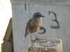 Western Bluebird juv. Siala mexicana (Siera Nevada California)