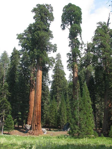 Sequoiadendron giganteum (Sequoia National Park California)