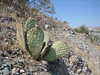 Bevertail, Opuntia basilaris