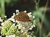 Speyeria cybele, Great Spangled Fritillary, (Siera Nevada California)