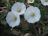 Bindweet, Convulvulus arvensis (Arizona)