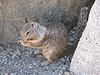 Sciurus griseus, Western Gray Squirrel, (Yosemite)