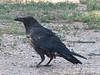 Corvus corax, raven, (NL: raaf) Grand Canyon