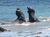 Mirounga angustirostris, Sea elephants (the Montery Bay, National Marine Sanctuary)
