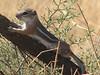 Ammospermophilus leucurus, White-tailed Antelope Squirrel, (Mojave desert California)