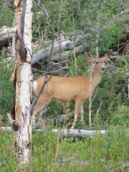 Odocoileus hemionus, Mule Deer, (Capitol Reef Nat'l Park Utah)