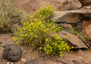 Psilostrophe sparsiflora