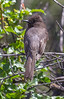 Sayornis nigricans
