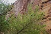 Malacosoma californicum