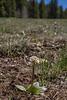 Micranthes cf rhomboidea