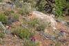 Sclerocactus parviflorus?