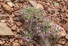 Polygala subspinosa